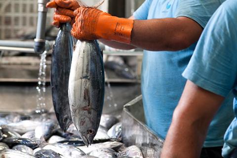 História - pesca atum bom petisco